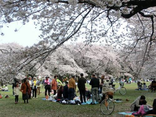 36満開の桜の下.JPG